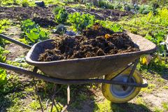 Wheelbarrow full of manure in a vegetable garden royalty free stock images