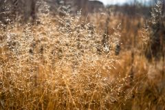 Change of seasons concept: mist droplets on the faded yellow gra. Ss, reeds in the late autumn morning Stock Photo