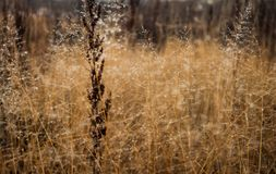 Change of seasons concept: mist droplets on the faded yellow grass, reeds in the late autumn morning.  Stock Photography