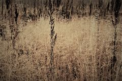 Change of seasons concept: mist droplets on the faded yellow grass, reeds in the late autumn morning.  Royalty Free Stock Photo