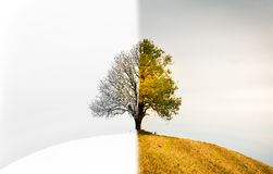 The change between seasons. A lonely tree that is both winter, s. A lonely tree on a hill.. The change between winter, spring and fall Royalty Free Stock Photography