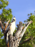 Changeable hawk eagle Stock Photography