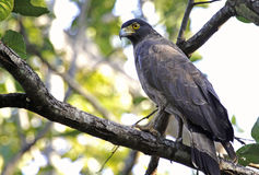 Changeable Hawk Eagle Royalty Free Stock Image