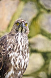 Changeable hawk eagle Royalty Free Stock Photos