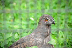 Changeable Hawk-eagle. Close up of Changeable Hawk-eagle (Spizaetus cirrhatus Royalty Free Stock Photography