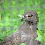 Changeable Hawk-eagle. Close up of Changeable Hawk-eagle (Spizaetus cirrhatus Stock Photography