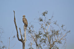 Changeable hawk eagle in Bardia, Nepal Royalty Free Stock Photos