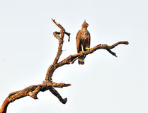 Changeable hawk eagle. The bird of prey sitting on the tree branch Royalty Free Stock Photo