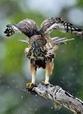 The changeable hawk-eagle or crested hawk-eagle. Predator bird on the tree. The changeable hawk-eagle or crested hawk-eagle Nisaetus cirrhatus. Yala National Royalty Free Stock Photography