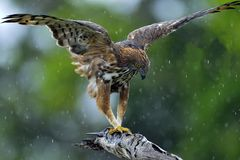 The changeable hawk-eagle or crested hawk-eagle. Predator bird on the tree. The changeable hawk-eagle or crested hawk-eagle Nisaetus cirrhatus. Yala National Stock Photo