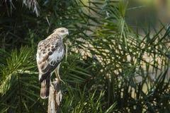Changeable hawk eagle immature in Arugam bay lagoon, Sri Lanka Royalty Free Stock Images