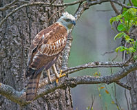 Changeable hawk eagle Royalty Free Stock Images