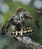 The changeable hawk-eagle Nisaetus cirrhatus. Predator bird on the tree. The changeable hawk-eagle or crested hawk-eagle Nisaetus cirrhatus Stock Photo