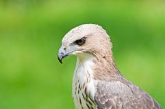 Changeable Hawk Eagle (Nisaetus limnaeetus) Stock Images
