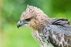 Changeable Hawk Eagle (Nisaetus limnaeetus) Stock Photo