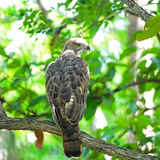 Changeable Hawk Eagle Stock Photo