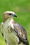Changeable Hawk Eagle (Nisaetus limnaeetus) Stock Image