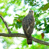 Changeable Hawk Eagle Royalty Free Stock Photography