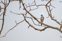 Changeable Hawk Eagle on a perch Royalty Free Stock Image