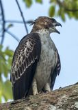 Changeable Hawk-Eagle. The Changeable Hawk-Eagle in Sinharaja Forest Reserve of Sri Lanka Royalty Free Stock Photography