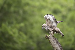 Changeable Hawk Eagle stand on stump in nature Royalty Free Stock Photo