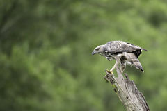 Changeable Hawk Eagle stand on stump in nature Stock Photos