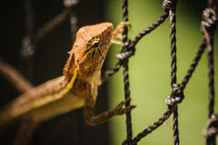 Changeable jaszczurka Agamidae Calotes versicolor na sieci Zdjęcia Royalty Free
