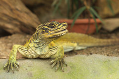 Changeable Lizard. The Oriental Garden Lizard, Eastern Garden Lizard or Changeable Lizard (Calotes versicolor) is an agamid lizard found widely distributed in Royalty Free Stock Photo