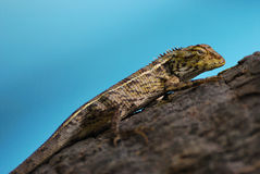 Changeable Lizard. A closeup photo taken on a changeable lizard climbing a tree Stock Images