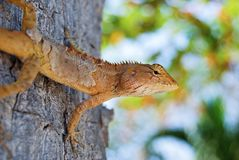 Changeable Lizard. Agamidae Calotes. Versicolor on the tree stock image