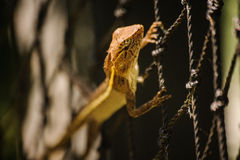 Changeable Lizard. Agamidae Calotes versicolor on net Royalty Free Stock Photography
