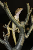 Changeable lizard, Calotes versicolor Stock Photo