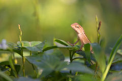 Changeable lizard on leaf Royalty Free Stock Photo