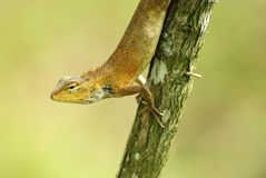 Changeable lizard in a tree Stock Photo
