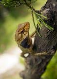 Changeable lizard up tree. A changeable lizard climbing up a tree Stock Photo