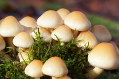 Changeable pholiota - macro shot Stock Photo