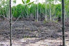 Changement climatique : destruction de palétuvier d'unami et d'ouragan Images stock