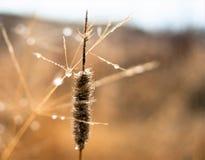 Changement de concept de saisons : gouttelettes de brume sur l'herbe jaune fanée, roseaux vers la fin de matin d'automne Photos libres de droits