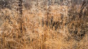 Changement de concept de saisons : gouttelettes de brume sur l'herbe jaune fanée, roseaux vers la fin de matin d'automne Photographie stock