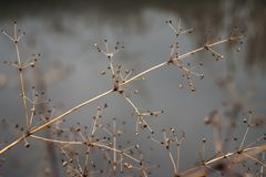 Changement de concept de saisons : tiges fanées au-dessus de rivière ou de lac glaciale congelée en automne en retard ou hiver tô Photographie stock libre de droits