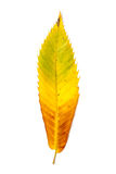 Changement de couleur automnal dans la feuille d'un arbre Images stock
