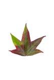 Changement de couleur automnal dans les espèces de l'arbre d'érable Images libres de droits