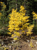 Changes. Aspen turning colors during Fall in the Rocky Mountains stock images