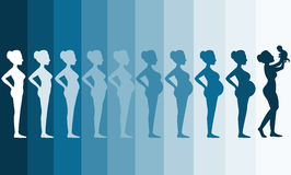 Changes in a woman's body in pregnancy,Silhouette pregnancy stages, Vector illustrations Royalty Free Stock Photo