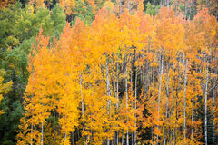 Free Changing Aspen Trees Royalty Free Stock Images - 49033539