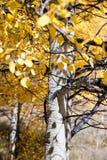 Changing Aspen trees stock photo