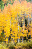 Changing Aspen Trees Stock Image