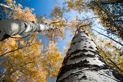 Changing Aspens from below Stock Images