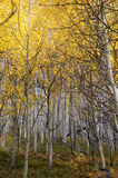 Changing Aspens Royalty Free Stock Image