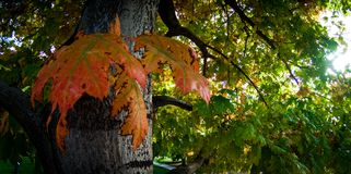 Changing autumn leaves Royalty Free Stock Images